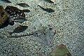Sea Life Konstanz Rochen 2.jpg