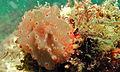 Sea Slug (Halgerda batangas) (8494816845).jpg