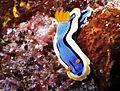 Sea Slug Chromodoris annae (7944351680).jpg