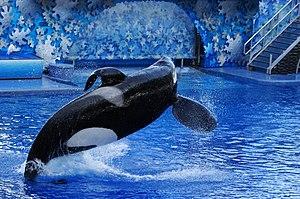 Tilikum (orca) - Tilikum at SeaWorld Orlando (2009)