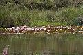 Seerosen auf einem Teich.jpg