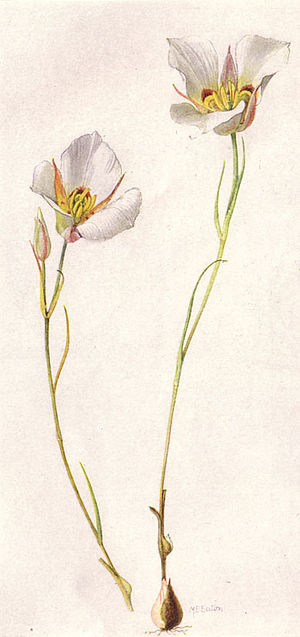 Calochortus nuttallii - Image: Sego or Mariposa Lily (NGM XXXI p 512)