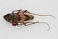Sepaicutea fisheri.jpg