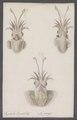 Sepiola rondeletii - - Print - Iconographia Zoologica - Special Collections University of Amsterdam - UBAINV0274 090 06 0003.tif