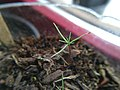 Sequoiadendron giganteum - 3-month-old seedling.jpg