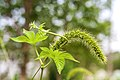 Setaria viridis 2.jpg