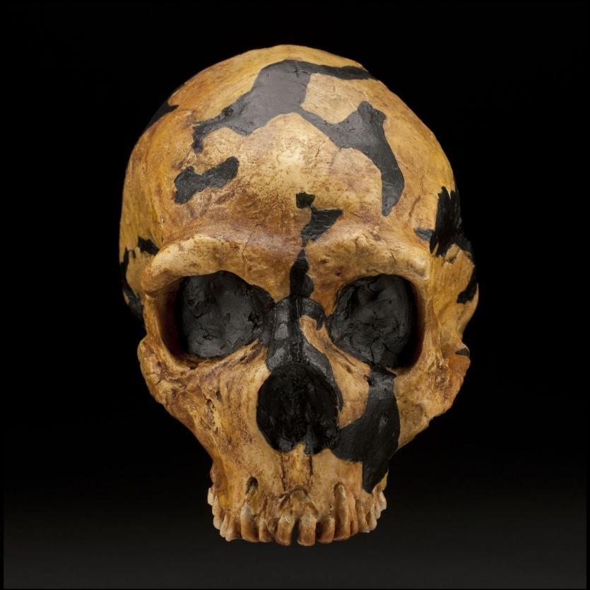 Shanidar skull