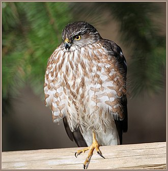 Sharp-shinned hawk - Immature (nominate group)