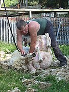 Sheep-shearing, now for the legs - geograph.org.uk - 1378873.jpg