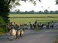 Sheep escape cattle grid.jpg