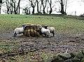 Sheep farming in Cefn Rhyswg - geograph.org.uk - 654710.jpg