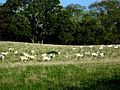 Sheep may safely graze - geograph.org.uk - 263106.jpg