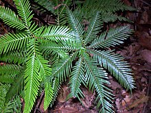 Shield Fern Elvina Bay.jpg