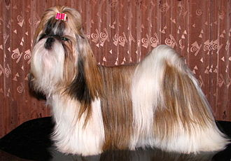 Shih Tzu - A Tricolor (black, white) Shih Tzu in show coat.
