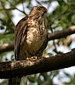 Shikra (Accipiter badius) in Hyderabad W IMG 8968.jpg