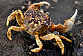 Shore Crab Western Washington.jpg