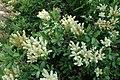 Sibiraea laevigata kz08.jpg