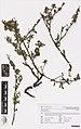 Sida rhombifolia L. (AM AK350922).jpg