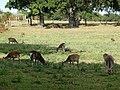 Sika deer at Arne Nature Reserve - geograph.org.uk - 1769362.jpg