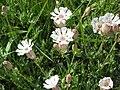 Silene uniflora03.jpg
