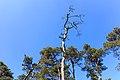 Silhouet dode boomtop in de strakblauwe lucht.Location, Kroondomein Het Loo 01.jpg