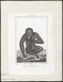 Simia satyrus - 1838 - Print - Iconographia Zoologica - Special Collections University of Amsterdam - UBA01 IZ19800037.tif