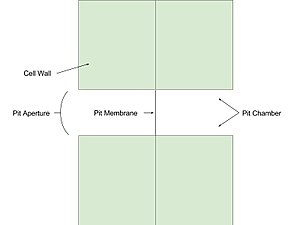 Pit (botany) - A simplified diagram of a simple pit pair