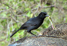 Slate-colored Boubou, Serengeti.jpg