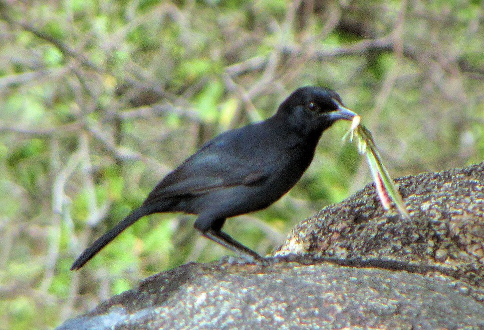 Slate-colored Boubou, Serengeti