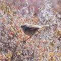 Slender-billed Thornbill (Acanthiza iredalei) (8079657130).jpg