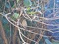 Small Niltava - Niltava macgrigoriae - P1050395.jpg
