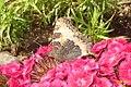 Small tortoiseshell (Jiz) (14602931801).jpg