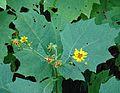 Smallanthus uvedalia - Flickr - Dick Culbert.jpg