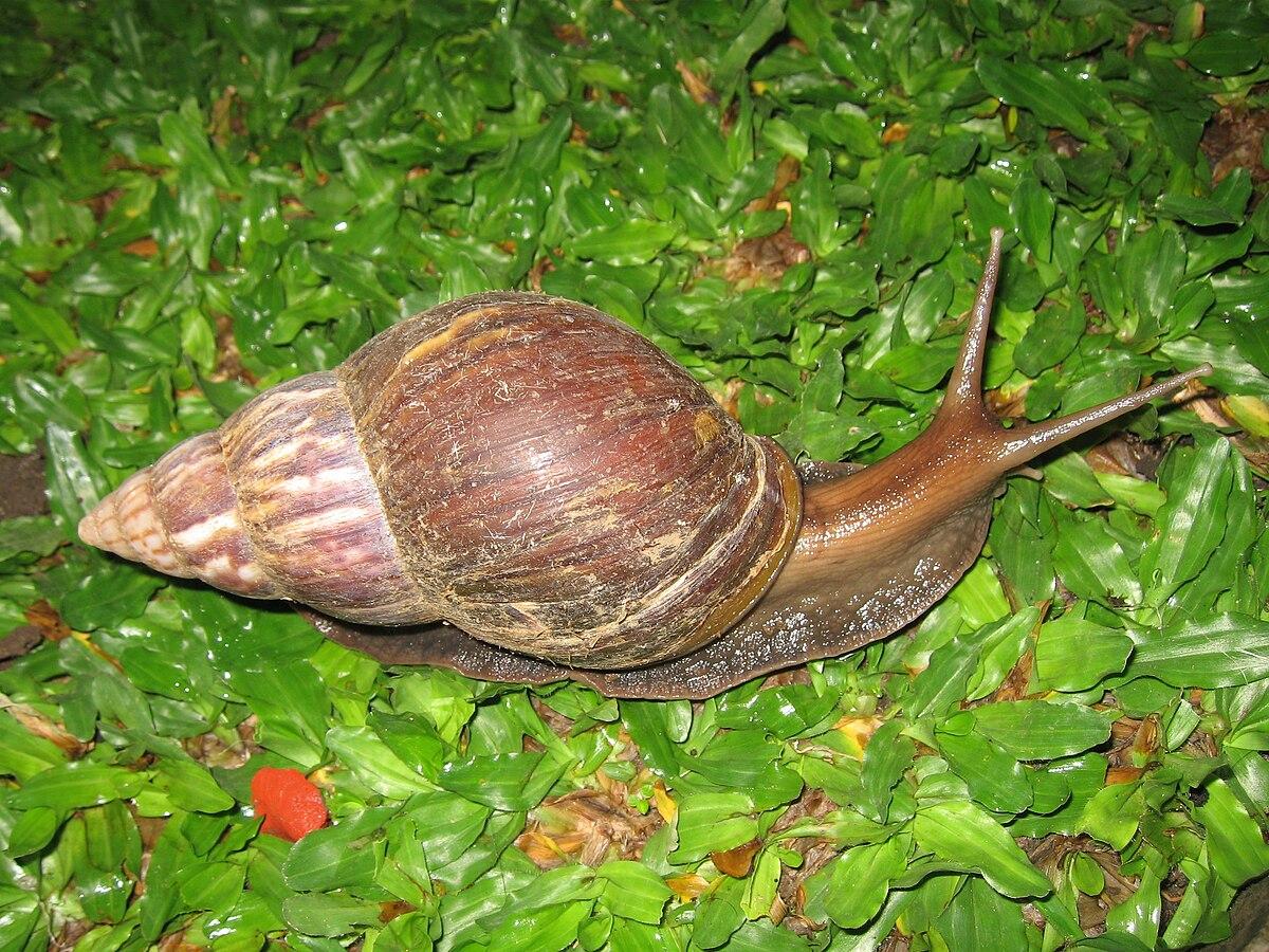 Achatina fulica - Wikipedia