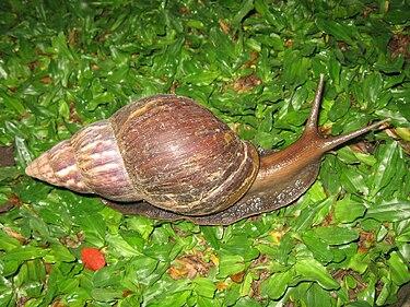 Snail in Ubud, Bali, 2010 (1).jpg