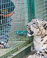 Snow Leopard2.jpg