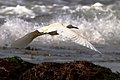 Snowy Egret Flying across the tides.jpg