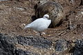 Snowy Sheathbill (Chionis albus) (15769859569).jpg