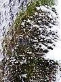 Snowy Tree - panoramio.jpg