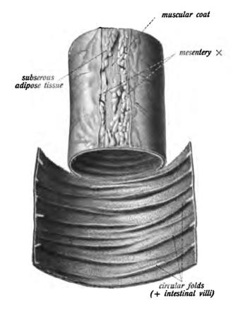 Circular folds - Small intestine (jejunus-ileum) with circular folds.