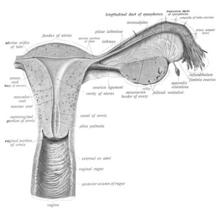 Drawn anatomic illustration as described in caption