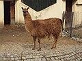Sofia Zoo - Llama 002.jpg