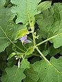 Solanum violaceum 36.JPG