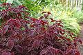 Solenostemon 'Red carpet'.jpg