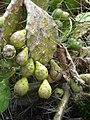 Solfatara Kaktusfeigen.jpg