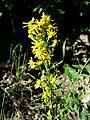 Solidago virgaurea subsp. virgaurea sl10.jpg