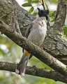 Sooty-headed Bulbul (Pycnonotus aurigaster aurigaster) - Flickr - Lip Kee (4).jpg