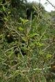 Sophora prostrata kz6.jpg
