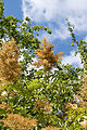 Sorbaria arborea - Panicules en fin de floraison.jpg