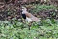 Southern Lapwing (Vanellus chilensis) (8077573890).jpg